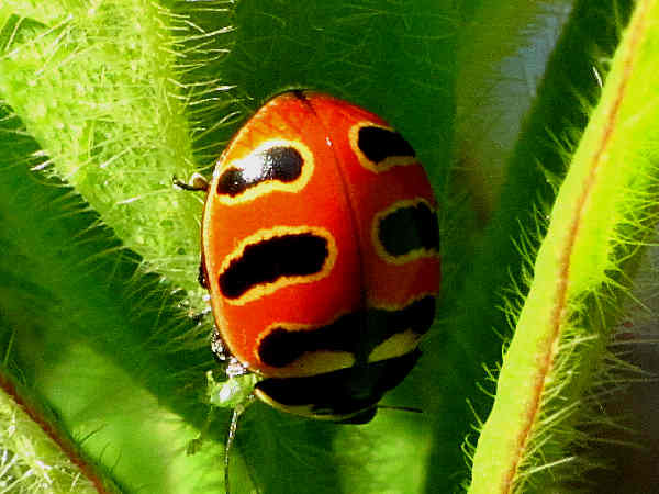 picture of both subspecies of the three-banded lady beetle, Coccinella Trifasciata, part of the types of ladybugs for ladybug identification