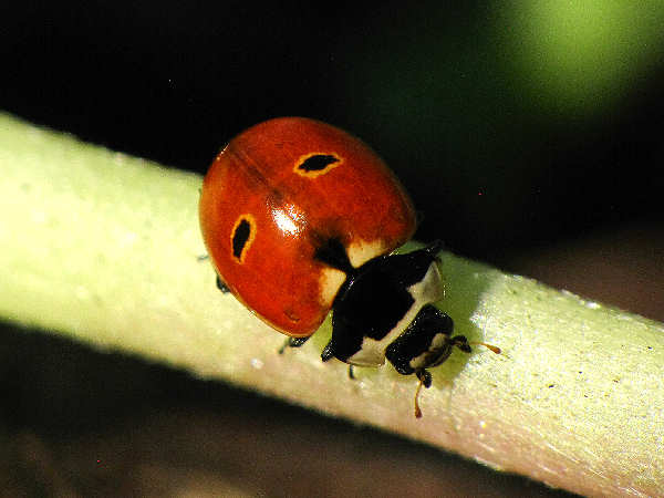 picture of a three-banded ladybug, one of the many common types of ladybugs found in residential areas