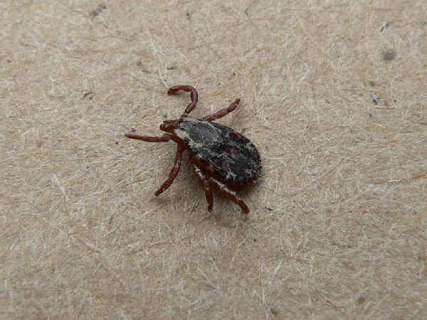 picture of a tick, part of the Arkansas spiders series