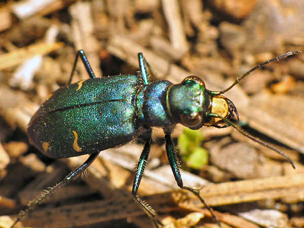 picture of a tiger beetle
