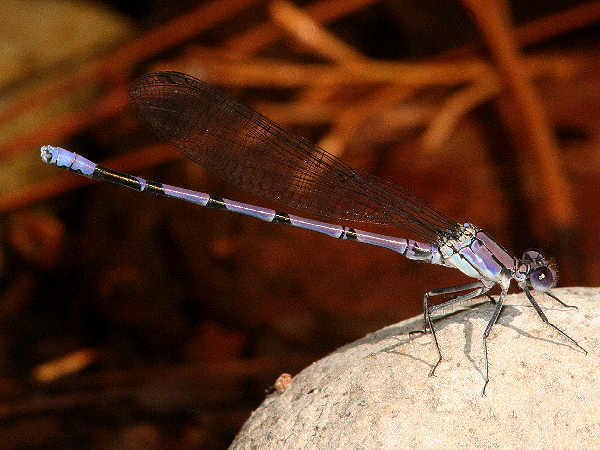 picture of a Tonto Dancer damselfly.