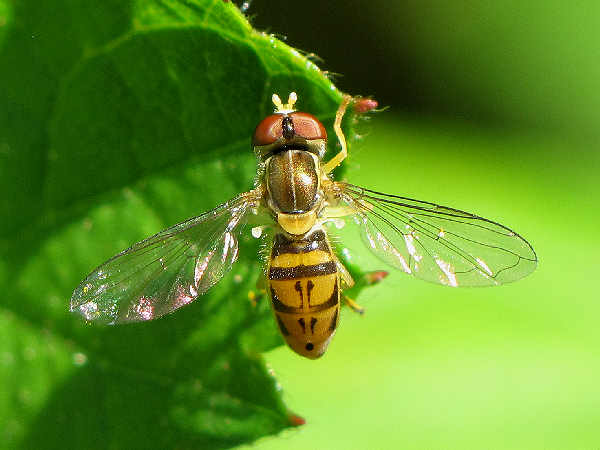 picture of a flower fly in the toxomerus genera