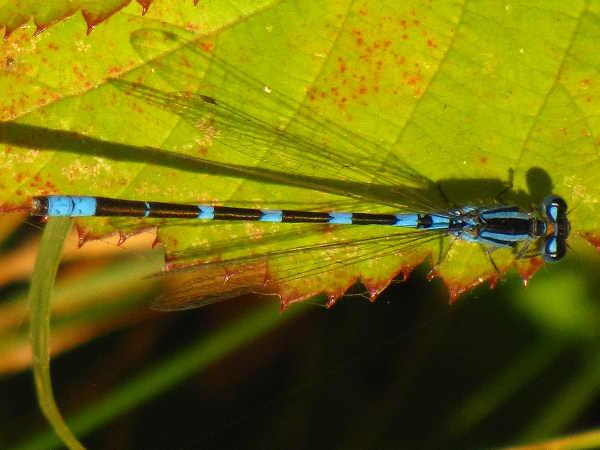 picture of a male tule bluet damselfly