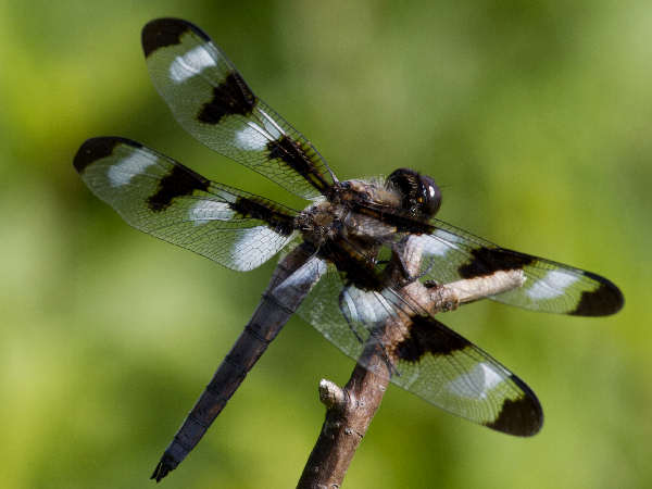 picture of a twelve-spotted skimmer dragonfly, credit JD Flickr