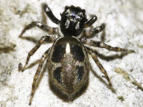 picture of a Twin-flagged Jumping Spider, part of the jumping spider identification guide