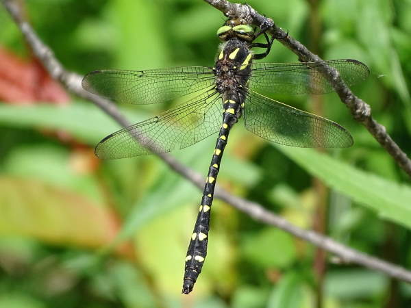 picture of a Twin-spotted Spiketail