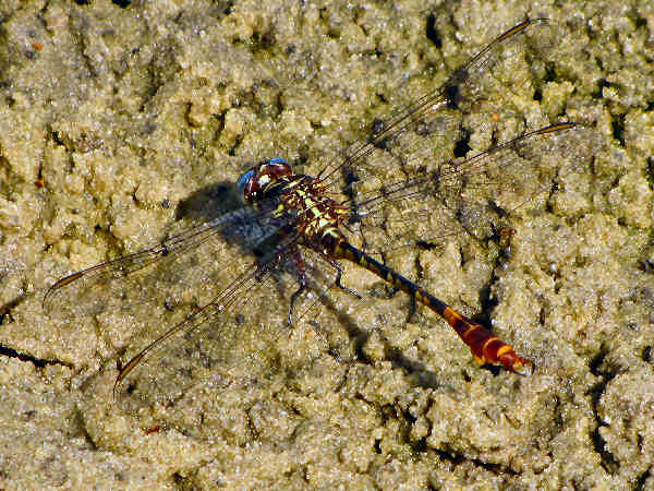 picture of a two-striped forceptail dragonfly
