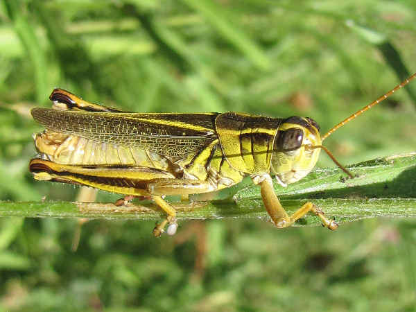 picture of a Two-striped Grasshopper