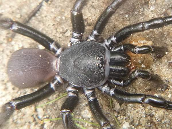 picture of a Southern Trapdoor Spider, Ummidia audouini, part of the Tennessee spiders collection