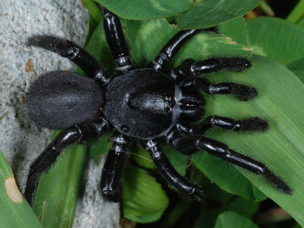 picture of a Cork-lid Trapdoor Spider, Ummidia, one of the Mygalomorph spiders