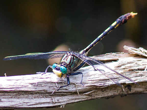 picture of a Unicorn Clubtail. credit Melissa McMaster Flickr
