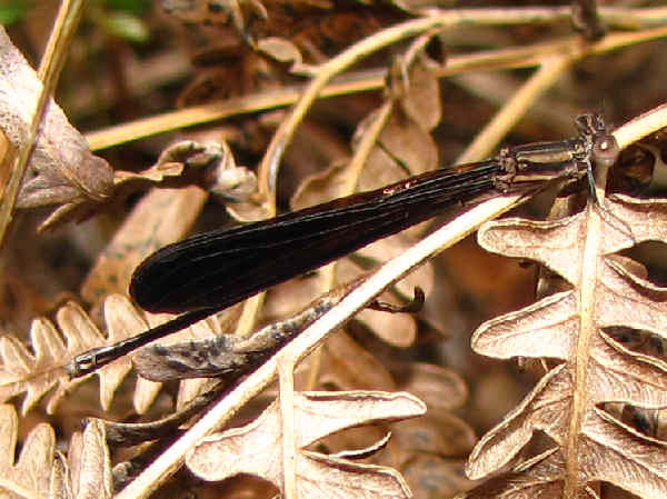 picture of a Variable Dancer damselfly