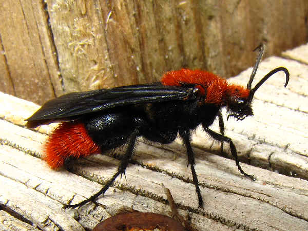 picture of a red velvet ant