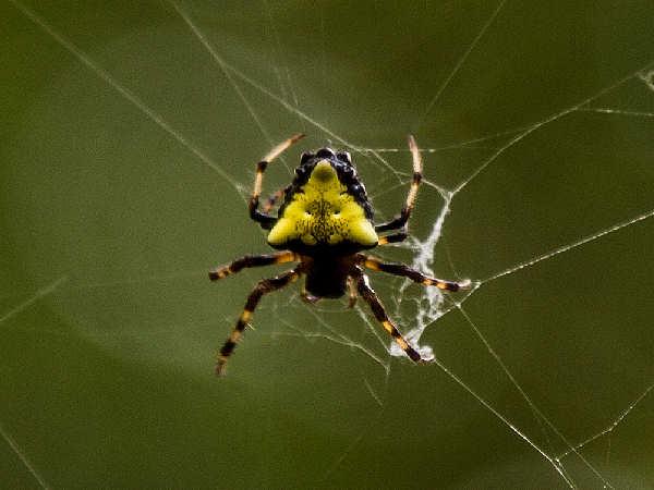 picture of a verrucosa-arenata orb weaver spider