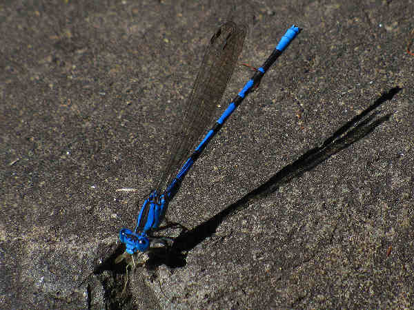 picture of a male vivid dancer damselfly