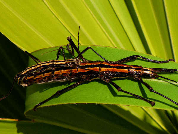 picture of a pair of two-striped walkingsticks mating, part of the different types of insects group