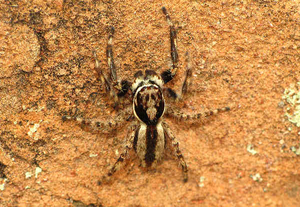 picture of a wall jumping spider