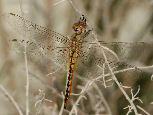 picture of a Wandering Glider dragonfly, part of the skimmer dragonfly identification guide series