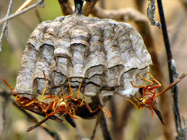 picture of a paper wasp nest