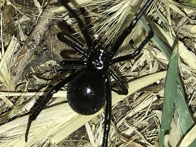 picture of a female Western Black Widow spider