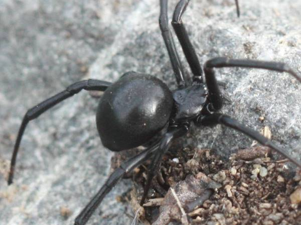 close up picture of a Western Black Widow spider, Nevada spiders