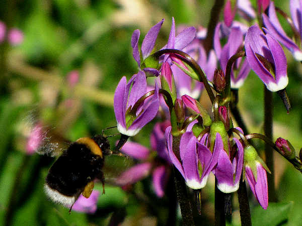 picture of a Western Bumblebee