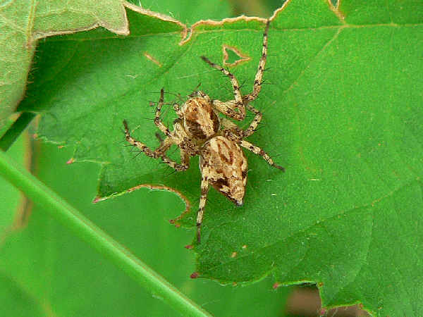 picture of the Western Lynx spider, part of the Massachusetts spiders series