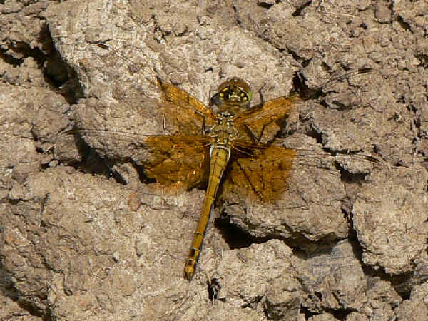 picture of a female Western Meadowhawk dragonfly