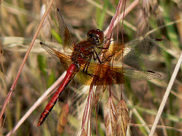 picture of a male Western Meadowhawk dragonfly