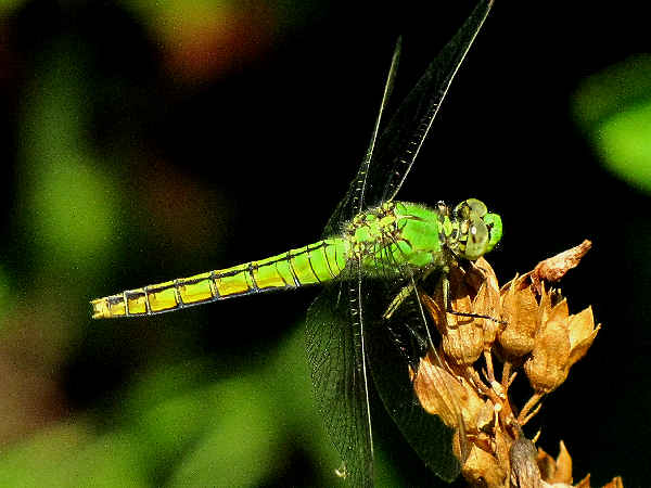 picture of a female Western Pondhawk dragonfly