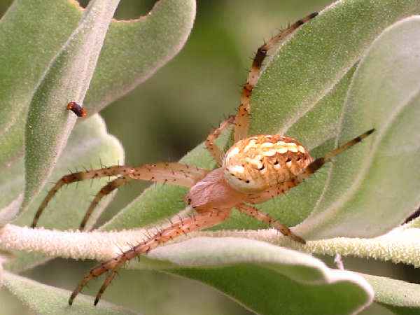 picture of a Western Spotted Orbweaver spider
