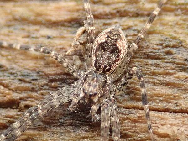 picture of a White-banded Fishing Spider