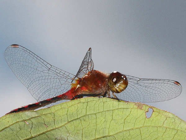 picture of a male Whiteface Meadowhawk dragonfly