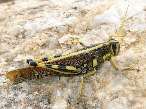 picture of a white lined bird grasshopper