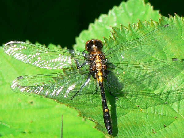 picture of an immature male Dot-tailed Whiteface dragonfly