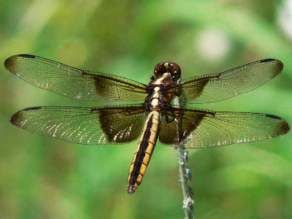 picture of a Widow Skimmer dragonfly