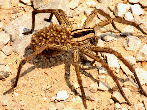 picture of a Wolf Spider carry spiderlings on her abdomen, part of the Arkansas spiders series