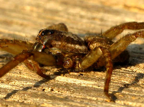 picture of a rabid wolf spider in Texas