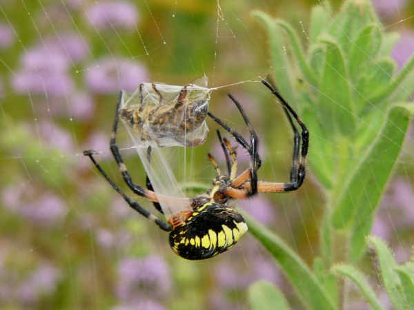 picture of a garden spider