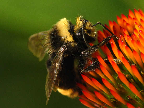 picture of a yellow-faced Bumblebee
