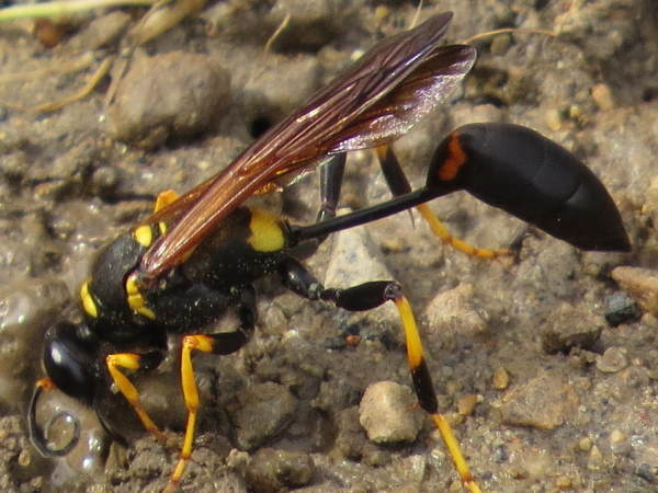 picture a thread-waisted wasp, Yellow-legged Mud Dauber