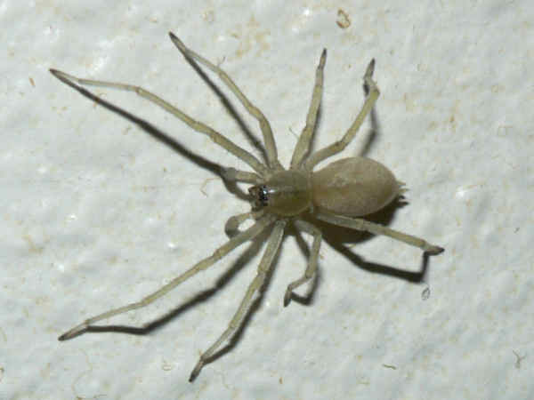 picture of a yellow sac spider, types of spiders