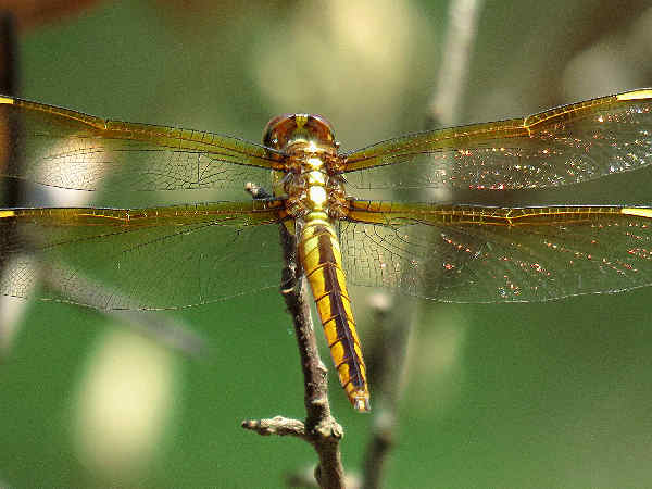 picture of a Yellow-sided Skimmer dragonfly, credit Patricie Pierce, Flickr