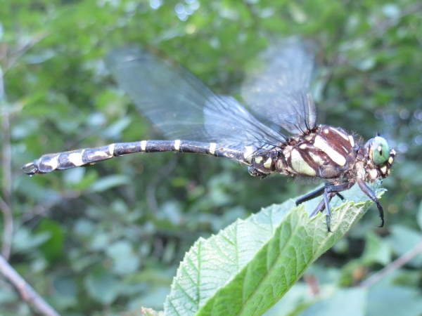 picture of a Zebra Clubtail dragonfly
