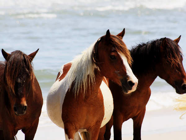 picture of horses on Assateague Island in Maryland
