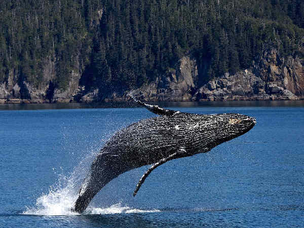 picture of a humpback whale, part of the California wildlife series