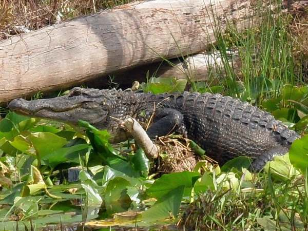 picture of an alligator at the Okefenokee Swamp, Georgia wildflife