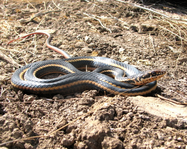 picture of an Alameda Whipsnake