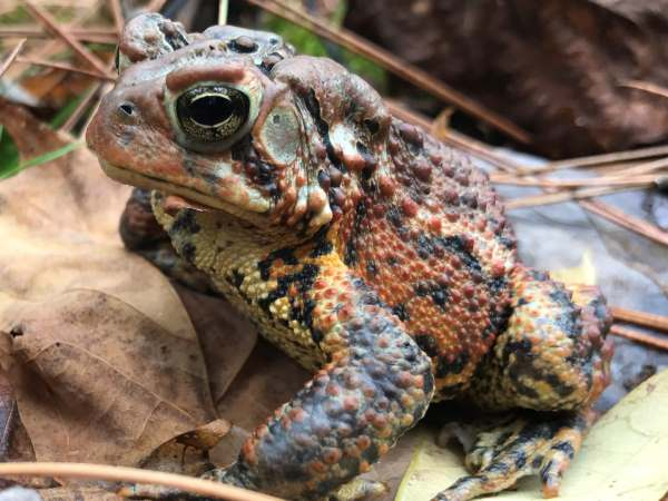 picture of an American Toad in Michigan, Michigan wildlife
