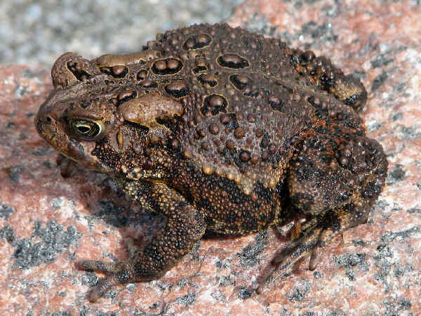 picture of an American toad represenative species of toads in the United States
